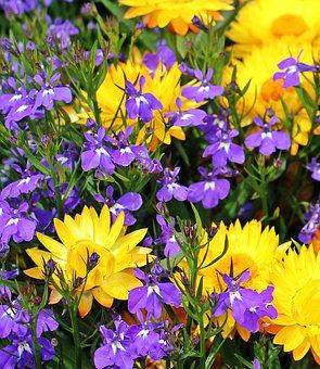 Straw Flowers, Flowers Yellow Strawflower, Nature