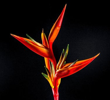 Strelitzia, Blossom, Bloom, Flower, Red, Orange, Yellow