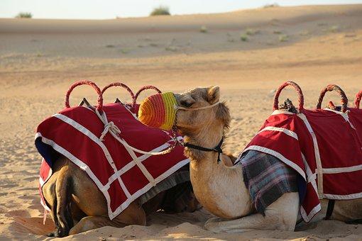 Camels, Desert, Sand, Travel, Tourism, Hot, Outdoors