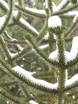 Araucana, Fir Tree, Tree, Branch, Winter, Snowy