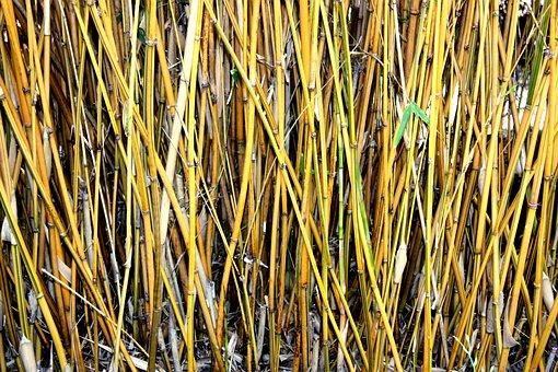 Bamboo, Shoots, Plants, Yellow, Woods, Thin, Woody
