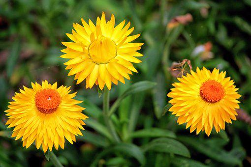 Straw Flowers, Flowers, Yellow, Orange