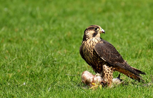 Falcon, Bird, Prey, Raptor, Bird Of Prey, Animal