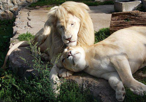 White Lion, Lions, Lioness, Wildlife, Animal, Zoo