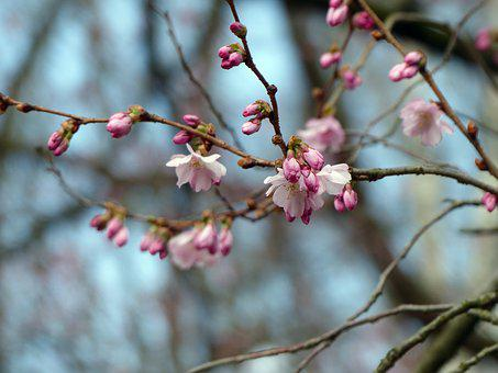 Blossom, Bud, Spring, Nature, Flowering Twig