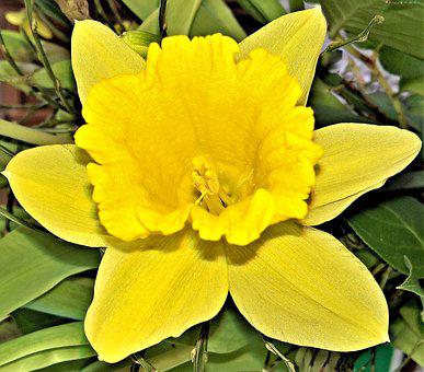 Flower, Daffodil, Narcissus, Spring Flower