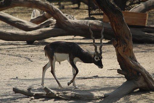 Black Buck, Deer, Mammal, Nature, Wildlife, Outdoors