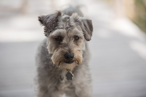 Dog, Animal, Pet, Canine, Schnoodle, Mixed Breed