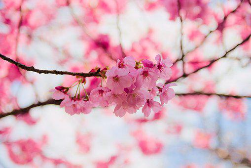 Cherry, Flower, Branch, Nature, Season