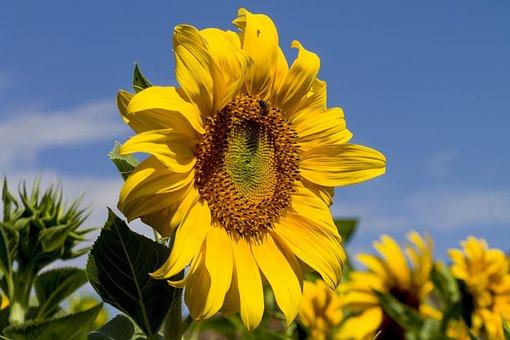 Nature, Flower, Flora, Summer, Sunflower, Bright