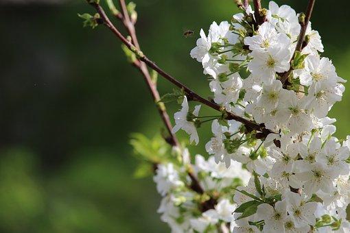 Flower, Nature, Tree, Plant, Branch, Cherry, Garden