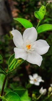 Bird's Eye Gilia, Gardenia, Flower, White, Orange