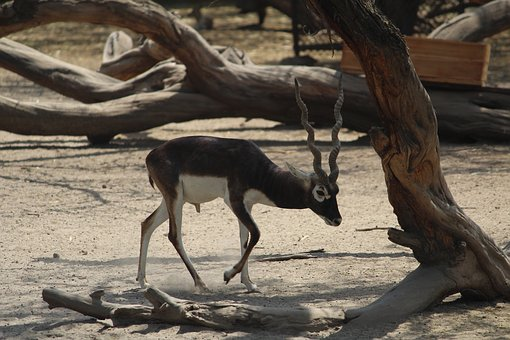 Deer, Mammal, Nature, Wildlife, Outdoors, Wood, Animal