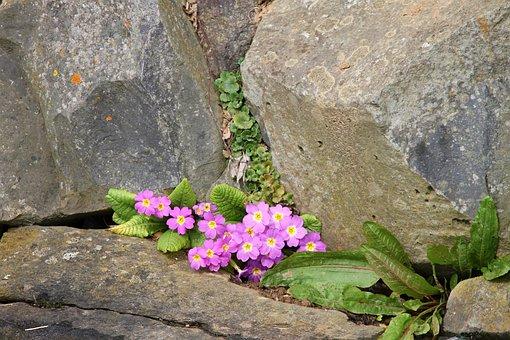 Primrose, Pink, Wall, Wall Flower, Stone Wall, Flowers