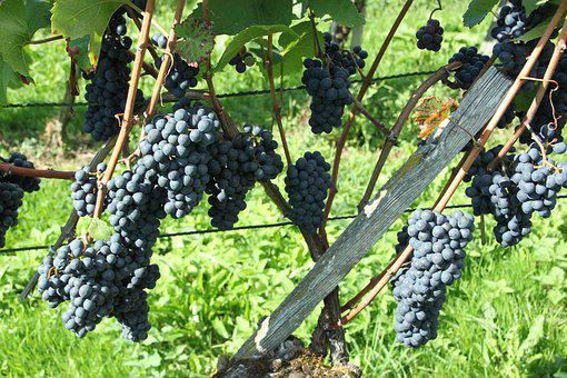 Pinot Noir, Fruit, Climber, Agriculture, Vineyard, Grow
