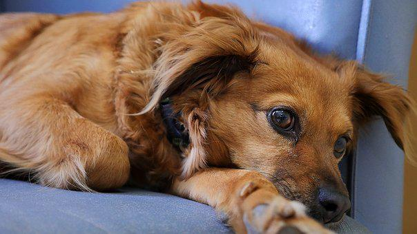 Dog, Cute, Canine, Animal, Puppy, Pet, Looking, Relax