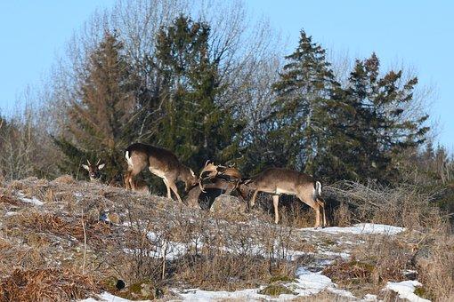 Nature, Outdoor, Wood, Snow, Tree, Deer, Fallow Deer