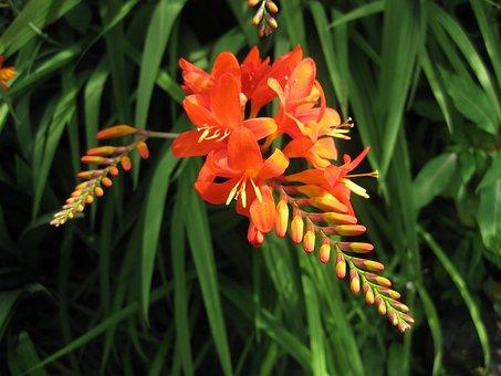 Nature, Flora, Flower, Summer, Garden, Montbretia