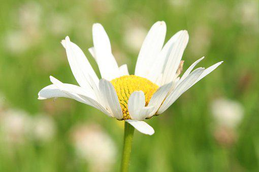 Nature, Flower, Flora, Summer, Grass, Daisy, Plant