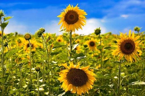 Field, Flower, Plant, Agrofirm, Summer, Sunflower, Sky