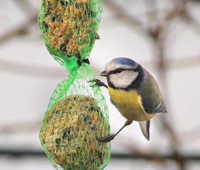 Blue Tit, Tit, Feed, Bird Seed, Bird, Nature
