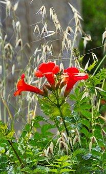 Trumpet, Vine, Campsis, Red, Nature, Flower, Flora