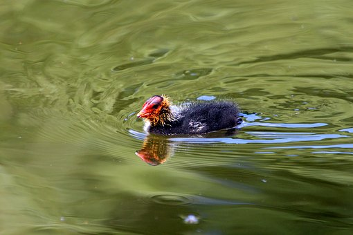 Coot, Lyska, Fulica Atra, Chick, Young, Water, Pond