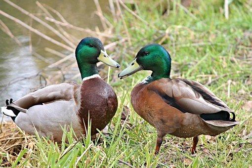 Ducks, Drake, Mallards, Water Bird, Waterfowl, Chatter
