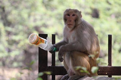 Monkey, Primate, Ape, Nature, Mammal, Wood, Wildlife