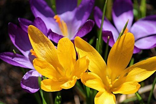 Crocus, Crocus Flowers, Spring, Purple, Yellow, Flowers