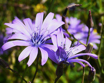 Mountain Flowers, Blue Cos, High Position