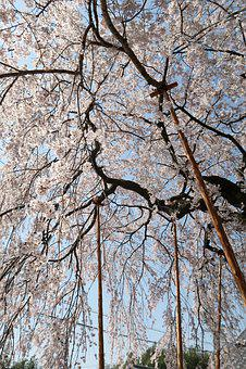 Wood, Branch, Seasonal, Natural, Cherry
