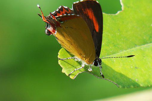 Butterfly, Insect, No Crest Of The Vertebral Animals