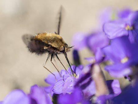 Bombyliidae, Fly, Insect, Wings Macro, Close, Garden