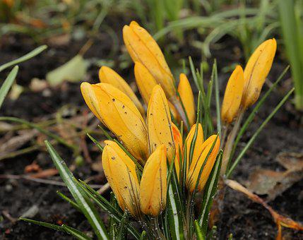 Nature, Flower, Plant, Season, Crocus, Spring, Flowers