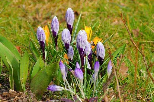 Nature, Flowers, Plant, Grass, Crocus, Rush, Garden