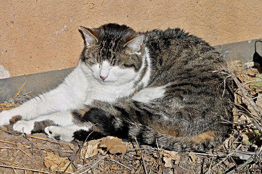 Domestic Cat, Cat, Doze, Dozing, Sleeps, Tired, Fatigue