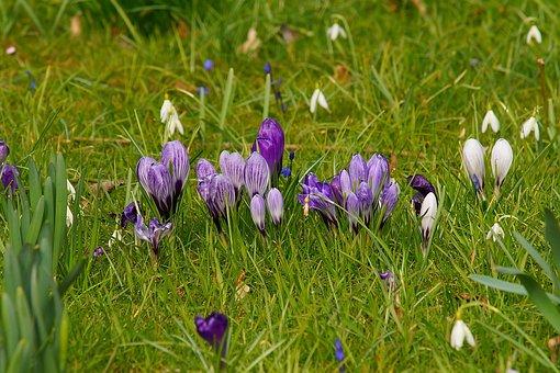 Grass, Nature, Flower, Meadow, Easter, Crocus, Spring