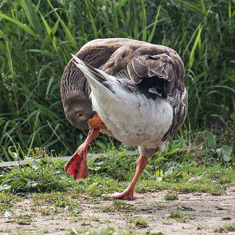 Greylag Goose, Plumage, Body Care, Bird, Nature, Animal