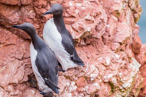 Guillemots, Rock Breeder, Coastal Bird, Bird, Nature