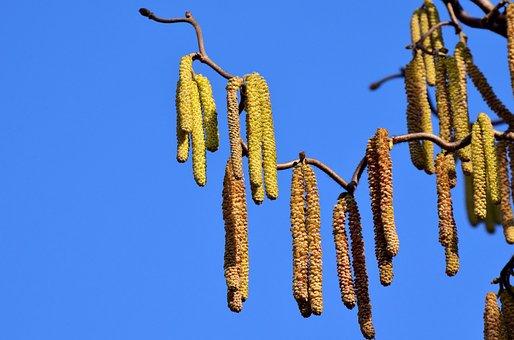 Walnut, Hazelnut, Seeds, Pollen, Blossom, Bloom