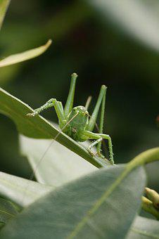 Leaf, Insect, Nature, Plant, Garden, Heugümper
