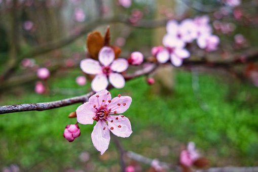 Prunus Nipponica, Japanese Alpine Cherry