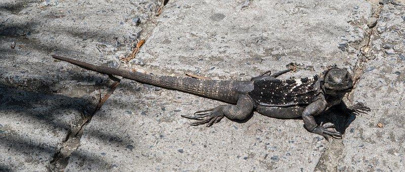 Endangered, Black Iguana, Reptile, Nature, Lizard
