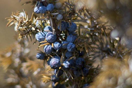 Juniper, Berries, Macro, Nature, Tree, Flora, Season