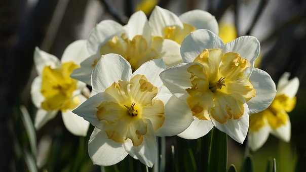 Flower, Plant, Nature, Narcissus, Daffodil, Close
