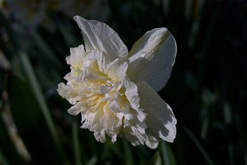 Narcissus, Amaryllis Plant, Flower, Nature, Plant