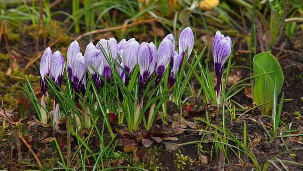 Nature, Flowers, Plant, Season, Grass, Crocus