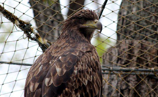 White-tailed Eagle, Haliaeetus Albicilla, Nature, Bird