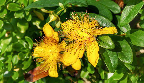 Great St, John's Wort, Hypericum, Yellow, Orange, Flora